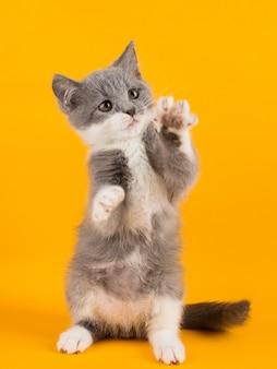 Lindo gatito gris divertido y divertido jugando y bailando en un amarillo.