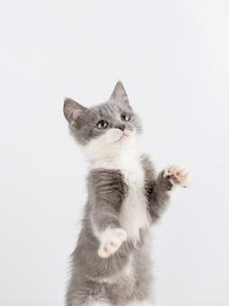 Lindo gatito gris jugando divertido y divertido en un blanco.