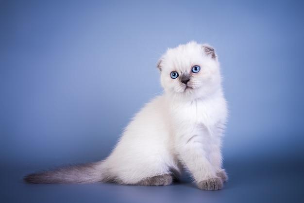 Lindo gatito de punto de color plateado de pelo corto de scottish fold con ojos azules.