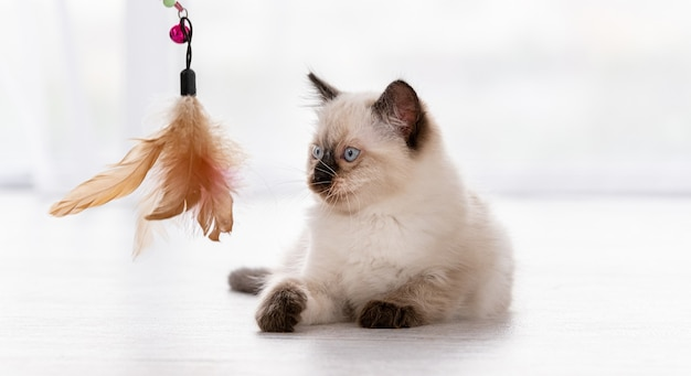 Lindo gatito ragdoll esponjoso con hermosos ojos azules tirado en el suelo y jugando con juguetes con plumas. retrato de gatito felino de raza americana en casa. pequeño gato doméstico de pura raza