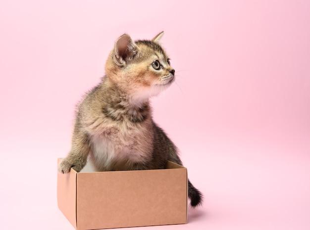 Lindo gatito de la raza escocesa chinchilla dorada recta se sienta en una caja marrón, fondo rosa