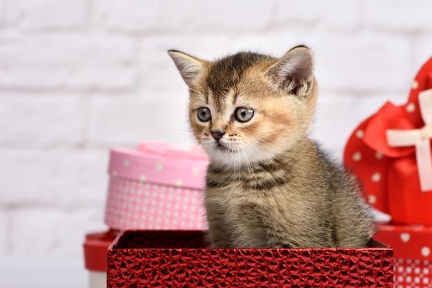 Lindo gatito de la raza escocesa chinchilla dorada recta se sienta en una caja de regalo roja con el telón de fondo de una pared de ladrillo blanco.