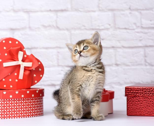 Lindo gatito de raza recta escocesa chinchilla dorada sobre un fondo blanco y cajas con regalos, fondo festivo
