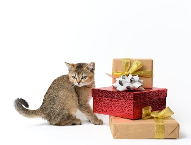 Lindo gatito raza recta escocesa chinchilla dorada sobre un fondo blanco y cajas con regalos, fondo festivo