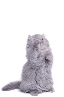 Lindo gatito sobre sus patas traseras