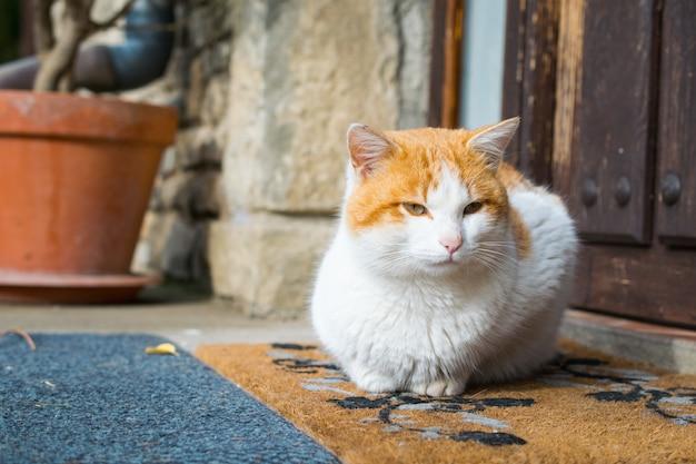 Lindo gato doméstico sentado afuera frente a una puerta
