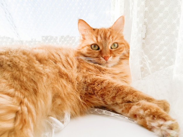 Lindo gato jengibre acostado en el alféizar de la ventana con cortina de tul. la mascota esponjosa mira con curiosidad. día soleado en casa acogedora.