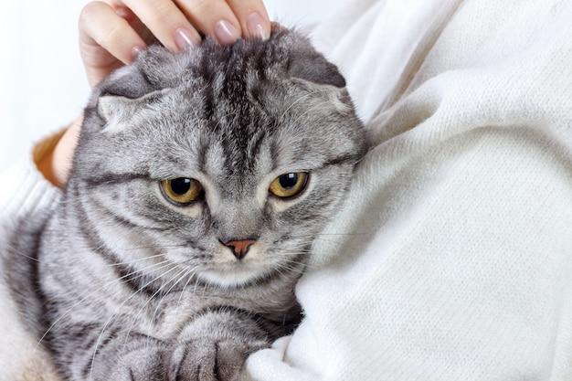 El lindo gato de jengibre duerme calentándose en un suéter de punto en las manos de su dueño. gatito escocés