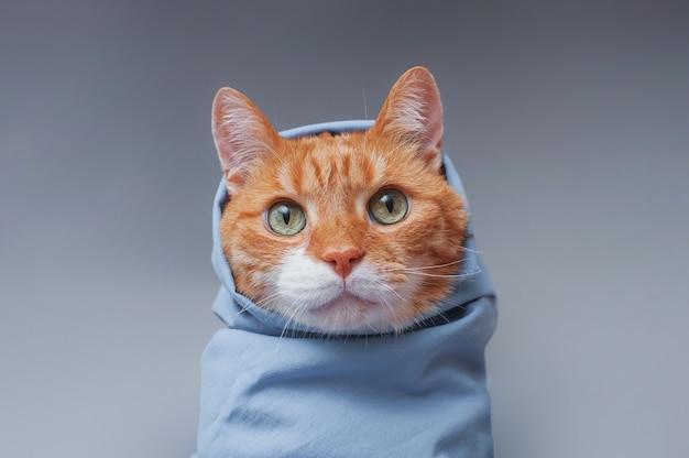 Lindo gato jengibre envuelto en un chal azul sobre un fondo gris