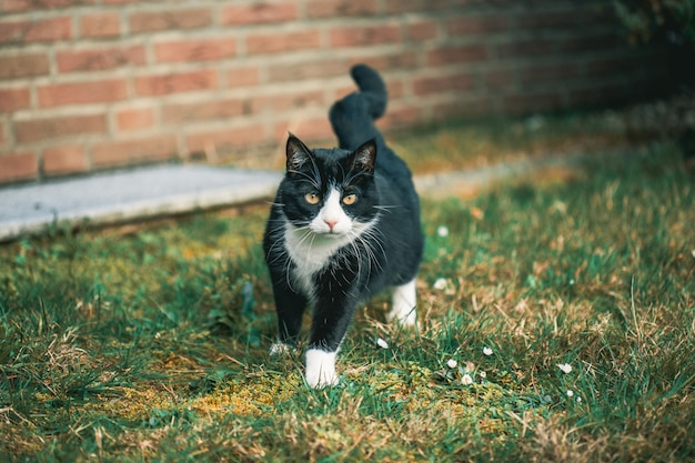 Lindo gato negro mirando a la cámara en el césped delante de una pared