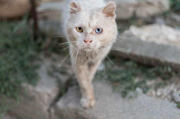Lindo gato con ojos de diferentes colores.