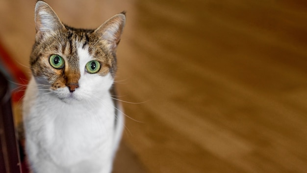 Lindo gato con ojos verdes en el interior