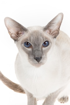 Lindo gato oriental sin pelo de cerca aislado en blanco