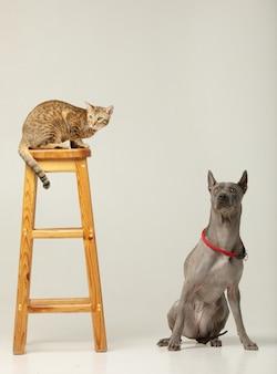 Lindo gato y perro en la pared blanca amigos mullidos thai ridgeback y serengeti cat