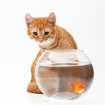 Lindo gato rojo juega con un pez dorado decorativo en un acuario redondo.