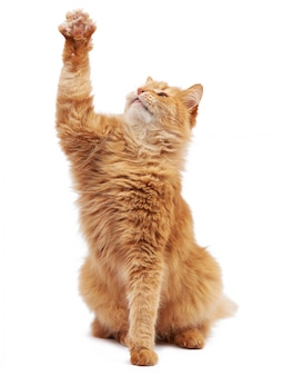 Lindo gato rojo mullido adulto sentado y levantó sus patas delanteras