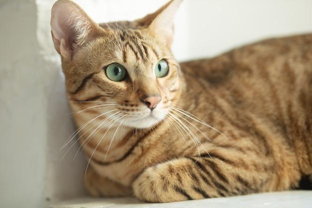 Un lindo gato serengeti yace en el alféizar de la ventana.