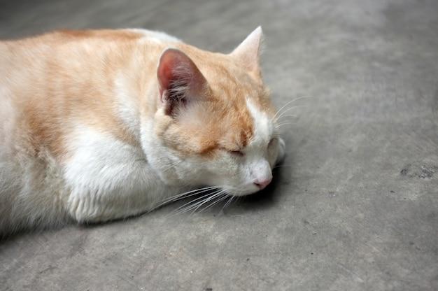Lindo gato tailandés amarillo, gato perezoso