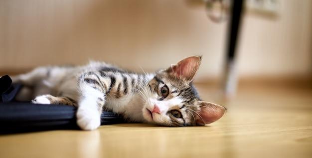 Lindo gato tirado en el piso y mirando hacia la cámara