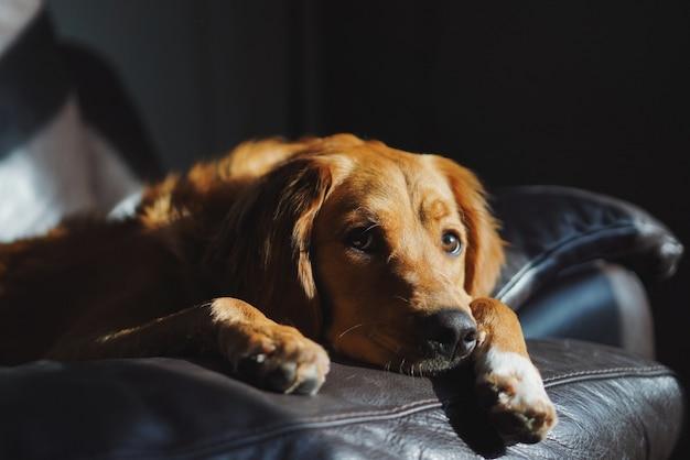 Lindo golden retriever doméstico tendido en el sofá en una habitación oscura
