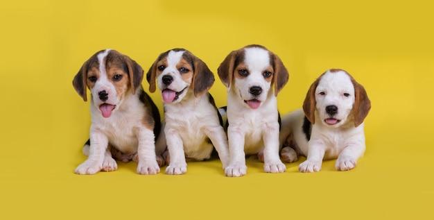 Lindo del grupo de cachorros beagle sentado y jadeando