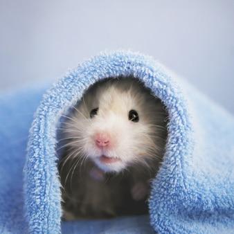 Un lindo hámster esponjoso debajo de una toalla