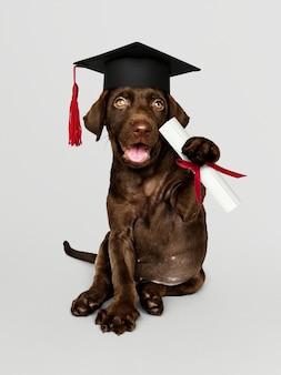 Lindo labrador retriever de chocolate en un gorro de graduación y sosteniendo un rollo de certificado