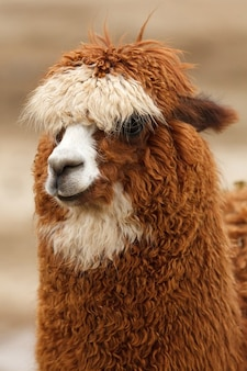 Lindo llama cabeza marrón rizado mullido lana de alpaca