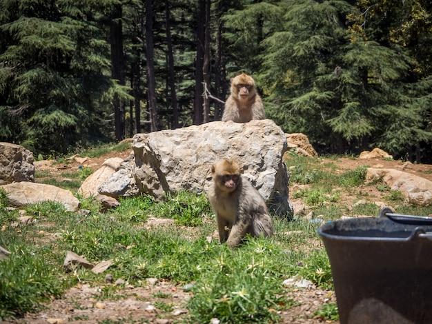 Lindo mono bereber macaca sylvanus jugando cerca de formaciones rocosas en marruecos