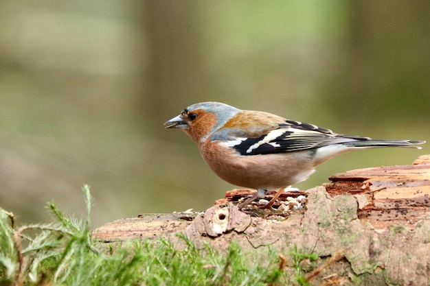 Lindo pájaro brambling en el bosque sobre un fondo borroso