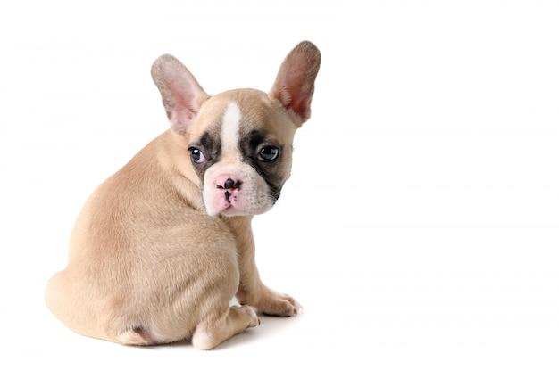 Lindo pequeño bulldog francés sentado aislado