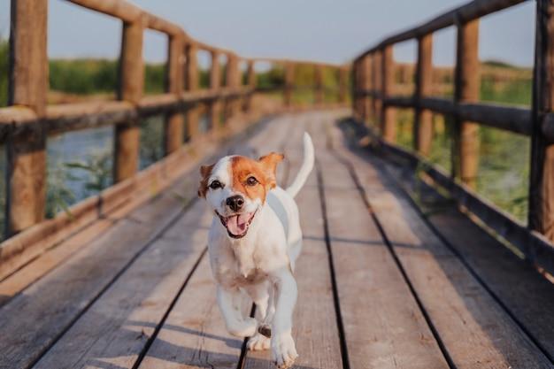 Lindo pequeño jack russell terrier corriendo en un muelle de madera al atardecer