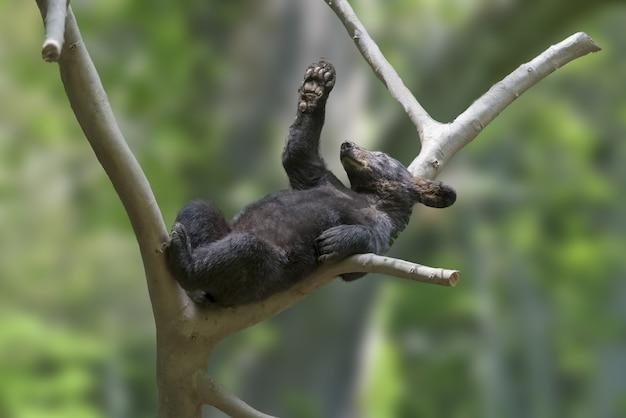 Lindo pequeño oso negro en la rama de un árbol con fondo borroso