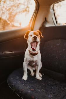 Lindo pequeño perro jack russell en un coche al atardecer luz de fondo.