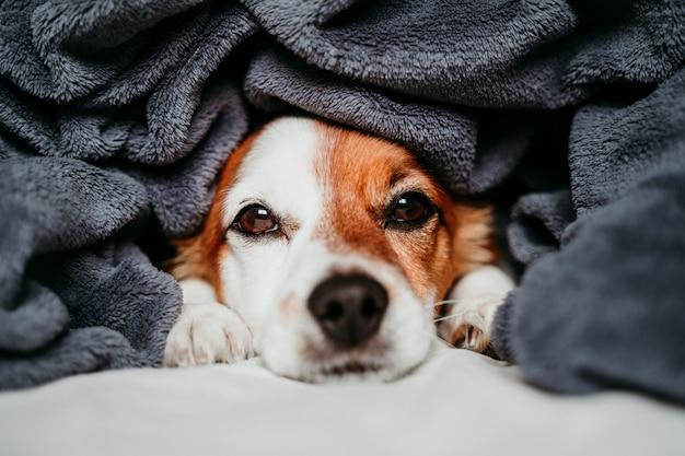 Lindo pequeño perro jack russell sentado en la cama, cubierto con una manta gris