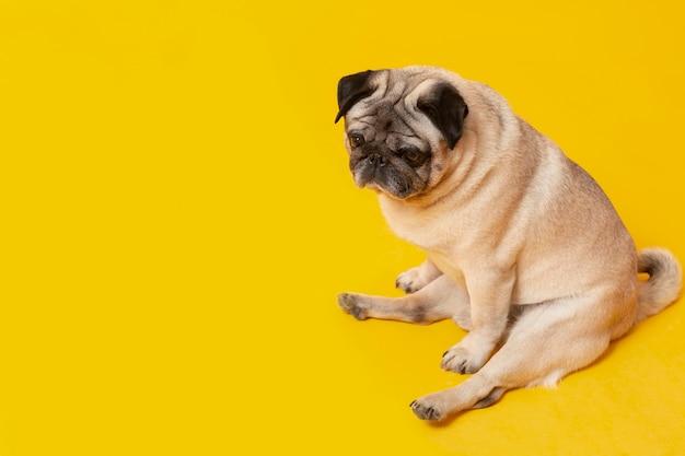 Lindo perrito aislado en amarillo
