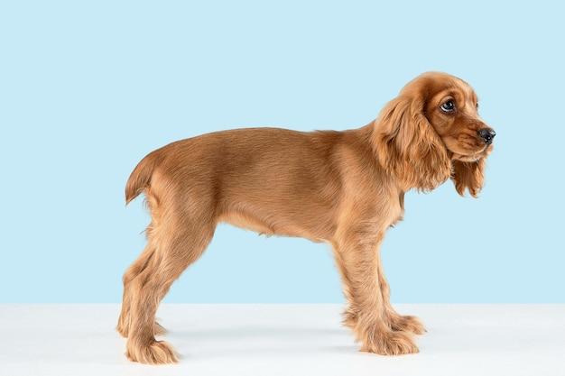 Lindo perrito braun juguetón o mascota está mintiendo aislado en azul