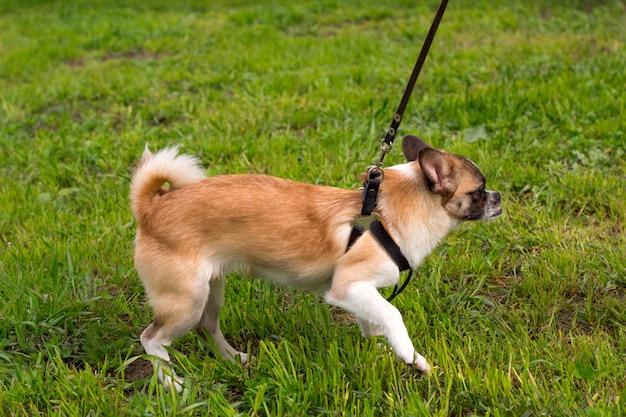 Lindo perrito con una correa en un paseo