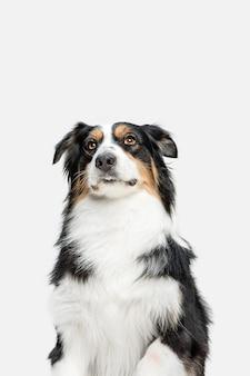 Lindo perrito dulce de pastor australiano o mascota posando aislado en la pared blanca.