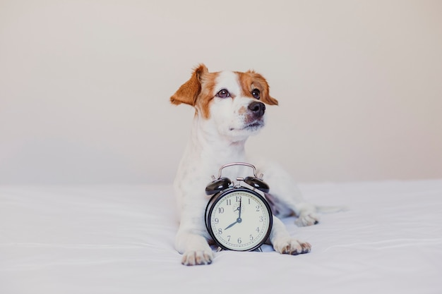 Lindo perro acostado en la cama con un despertador a las 8 am. concepto de mañana y despertar en casa.