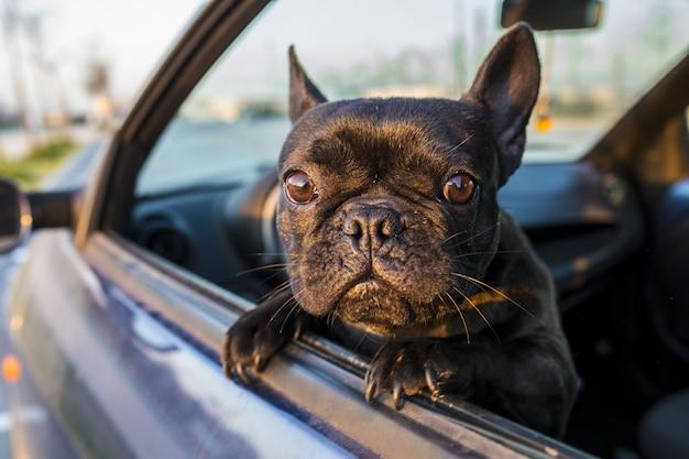 Lindo perro asomando la cabeza por la ventana del coche