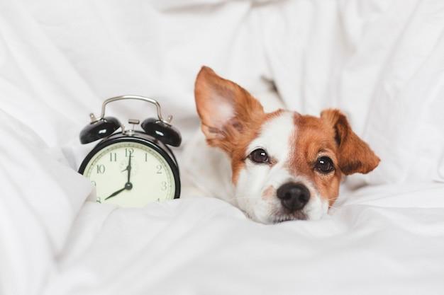 Lindo perro en la cama en su casa con reloj despertador