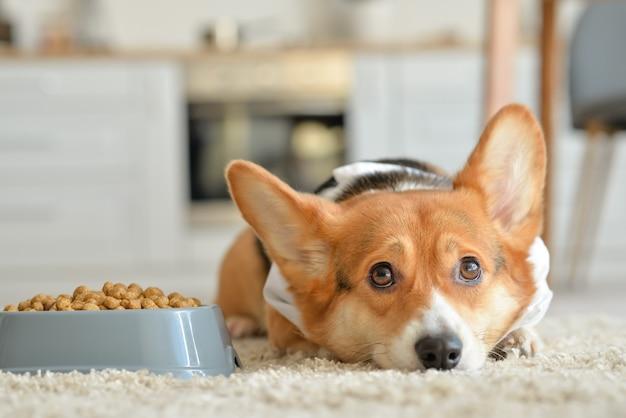 Lindo perro cerca de un tazón con comida seca en casa