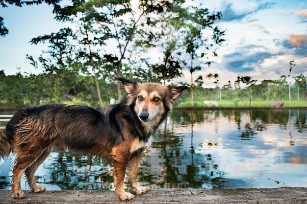 Lindo perro corgi de pie junto al lago con hermosas nubes en la escena