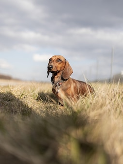 Lindo perro dachshund marrón durante el día