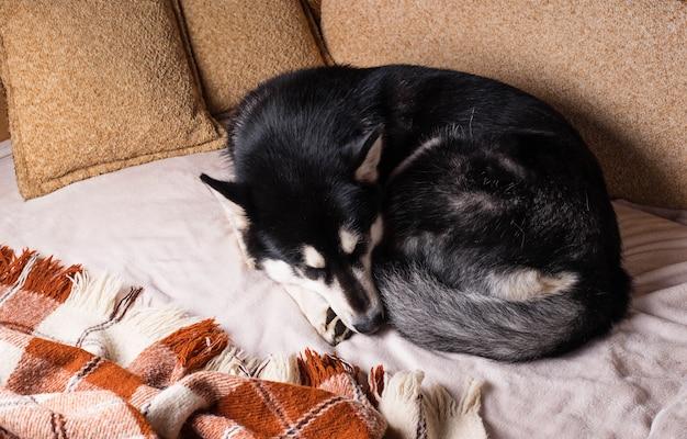 Lindo perro durmiendo en una cama bajo una tela escocesa