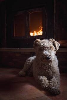 Lindo perro fox terrier blanco y rizado sentado frente a la chimenea ardiente