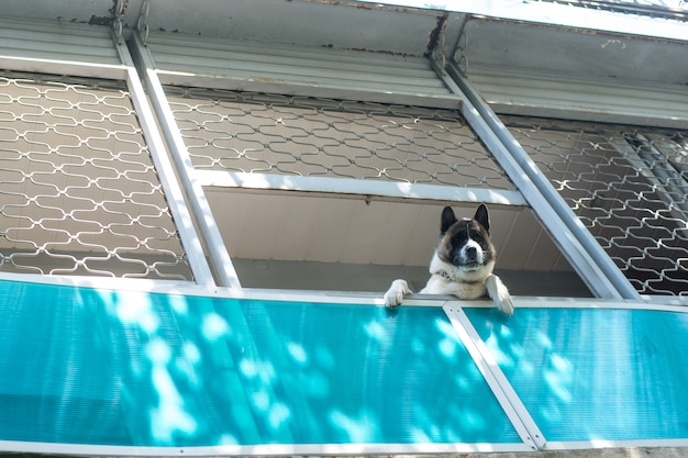 Lindo perro grande en el balcón, visto desde abajo y mirando hacia abajo