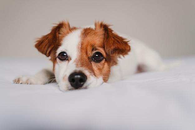 Lindo perro jack russell acostado en la cama