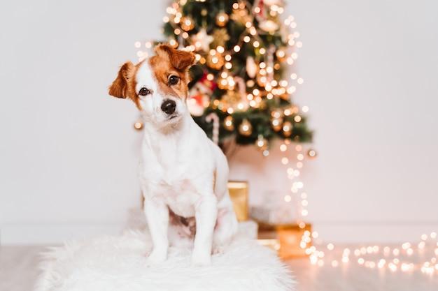 Lindo perro jack russell en casa junto al árbol de navidad